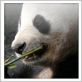Panda Bear Habitat